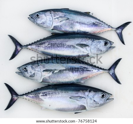 bluefin four tuna fish Thunnus thynnus catch in a row - stock photo