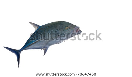 bluefin isolated on a white background - stock photo
