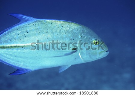 Bluefin Trevally in the Indian Ocean