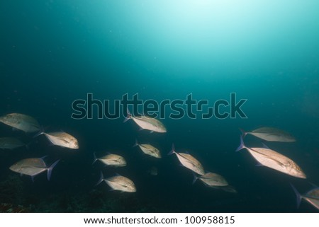 Bluefin trevally in the Red Sea - stock photo