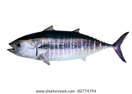 Bluefin tuna isolated on white background real fish Thunnus thynnus - stock photo