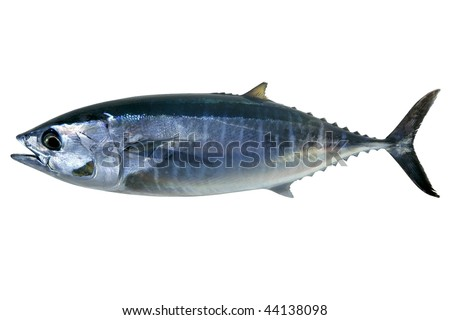 Bluefin tuna isolated on white Thunnus thynnus saltwater fish - stock photo