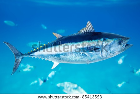 Bluefin tuna Thunnus thynnus saltwater fish in mediterranean [Photo Illustration] - stock photo