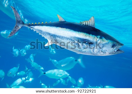Bluefin tuna Thunnus thynnus saltwater fish in mediterranean [photo-illustration] - stock photo