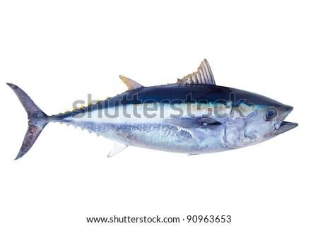 Bluefin tuna Thunnus thynnus saltwater fish isolated on white - stock photo
