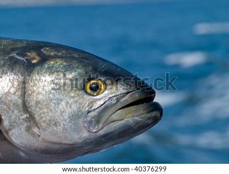 Bluefish Fish Head - stock photo