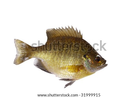 Bluegill sunfish, Lepomis Macrochirus  isolated with path