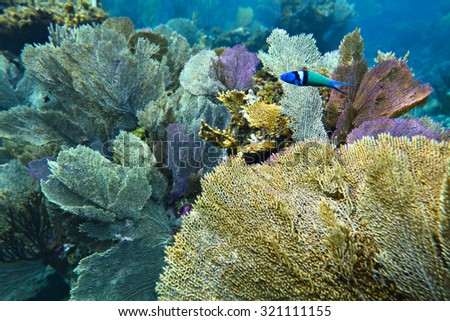 Bluehead wrasse fish on the colorful seaweed background, shallow focus - stock photo
