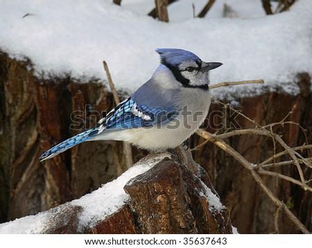 Bluejay - stock photo