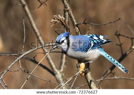 Bluejay Cyanocitta cristata - stock photo