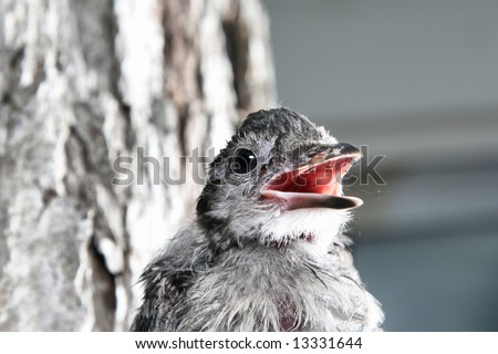 Bluejay Fledgling Calling for Mommy - stock photo