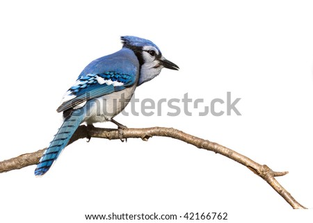 bluejay pictured from behind sitting on branch; white background