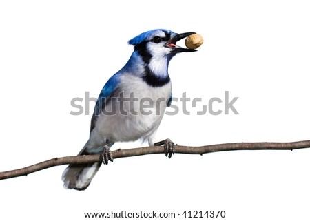 bluejay prepares for flight with a peanut in tow. white background
