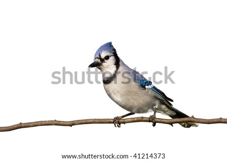bluejay sitting on branch with head slightly cocked, white background