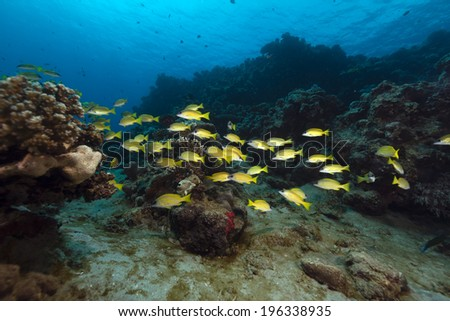 Bluelined snappers in the Red Sea - stock photo