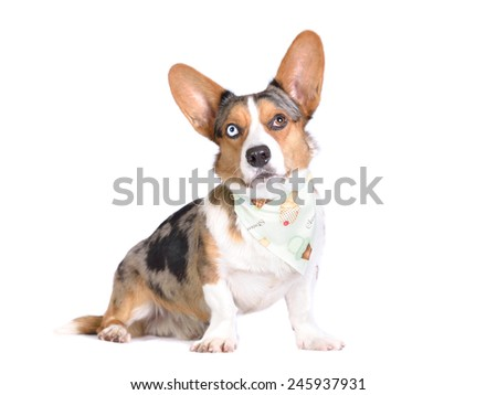 Bluemerle Cardigan Welsh Corgi in bandana with ice creams
