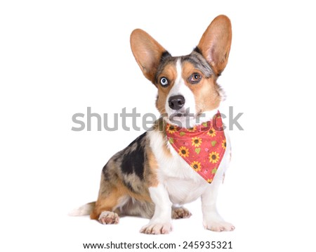 Bluemerle Cardigan Welsh Corgi in red bandana with sunflowers