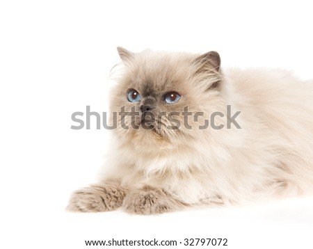 Bluepoint Himalayan cat on white background
