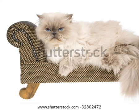 Bluepoint Himalayan lying on mini brown couch, on white background - stock photo