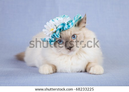 Bluepoint mitted Ragdoll cat with hat on blue background - stock photo