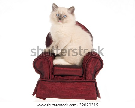 Bluepoint Ragdoll kitten sitting on burgundy miniature chair, on white background - stock photo