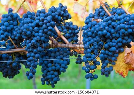 Blues grapes - stock photo