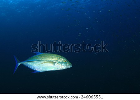 Bluespot Trevally fish - stock photo