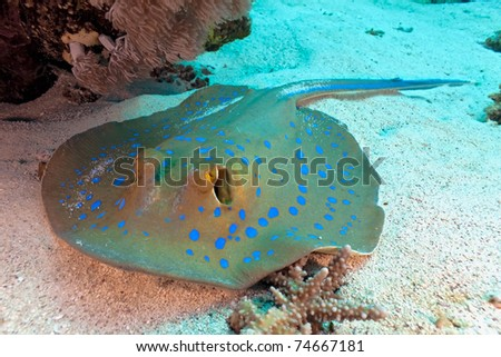 Bluespotted stingray - stock photo