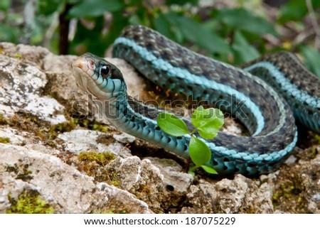 Bluestripe Garter Snake - stock photo