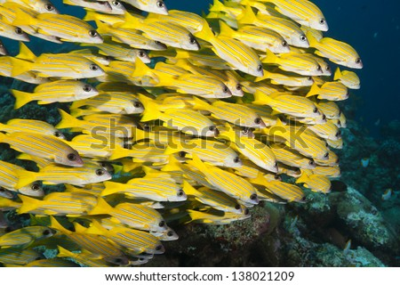 Bluestripe Snapper (Lutjanus kasmira) on a tropical coral reef off the islands of Palau in Micronesia. - stock photo