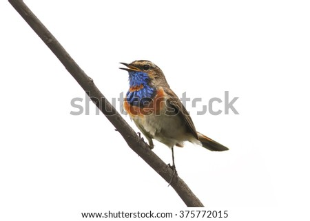Bluethroat bird on branch isolated on white background