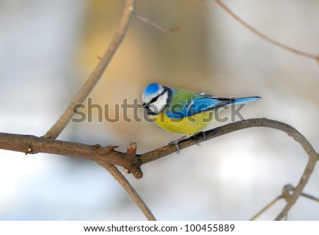 Bluetit perched on a thin twig in a wintery scene. - stock photo