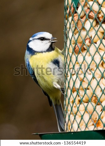 Bluetit with open beak sitting on a peanut feeder - stock photo