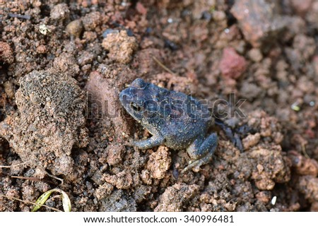 Bluish black warty toad on wet soil. - stock photo