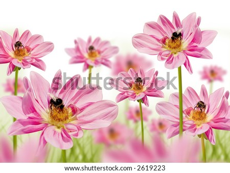 blumbees in a field of pink flowers collecting honey - stock photo