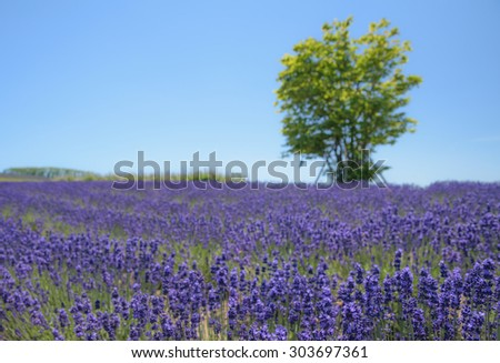 Blur background of stand alone tree and lavender field