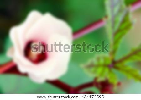 Blur background pink flower of Jamaica Sorrel or Hibiscus sabdariffa in Thailand - stock photo