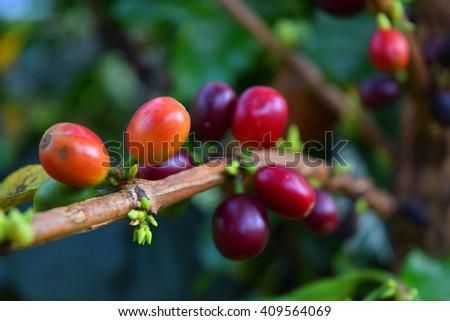 blur Fresh Coffee seeds on a coffee tree in Chiang rai, Thailand - stock photo