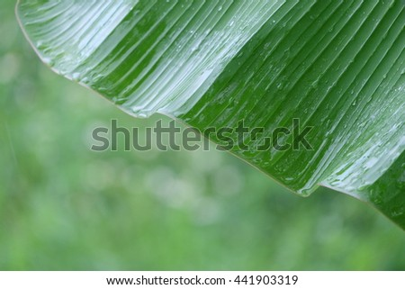 blur green of banana leaf for nature background Close-up - stock photo