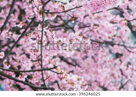 blur image background of pink Cherry blossom in Japan