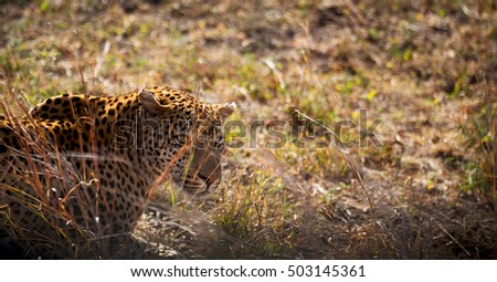 blur in south africa kruger natural park wild leopard resting after hounting
