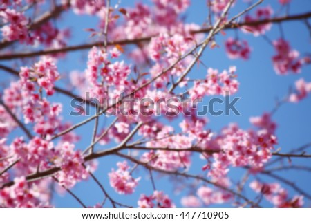 Blur short of Cherry blossom in springtime, beautiful pink flowers in northern , Thailand.