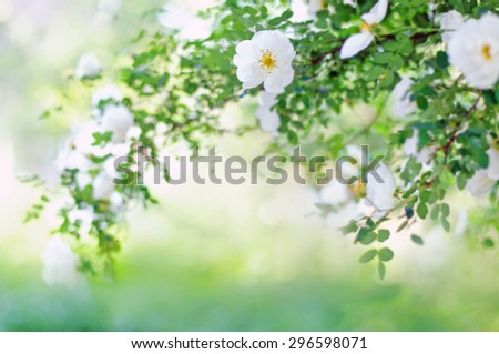 Blur spring blossom background. Blurred background with of blossoming roses - stock photo