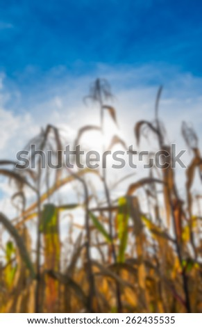 Blurred Background of Corn - stock photo