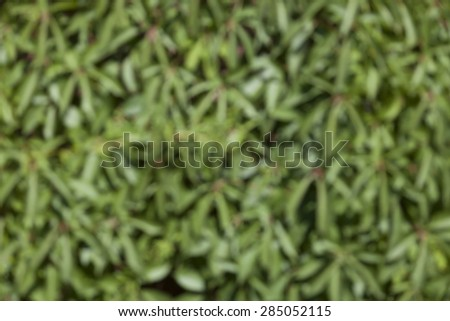 Blurred background of green plants Parthenocissus tricuspidata Veitchii which is braided wall. - stock photo
