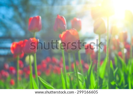 Blurred background of red colored tulips with starburst sun - stock photo
