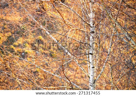 Blurred background - spring landscape with birch and branches of trees, lit with sunset light - stock photo