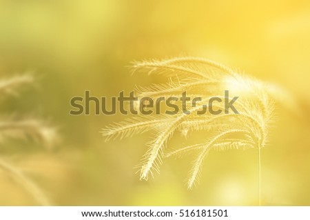blurred beautiful brown grass in lighting with vintage tone