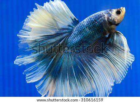 blurred fighting fish - colorful Siamese aggressive tropical water aquarium - stock photo