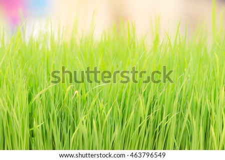 blurred green wheatgrass for backgrounds textures
